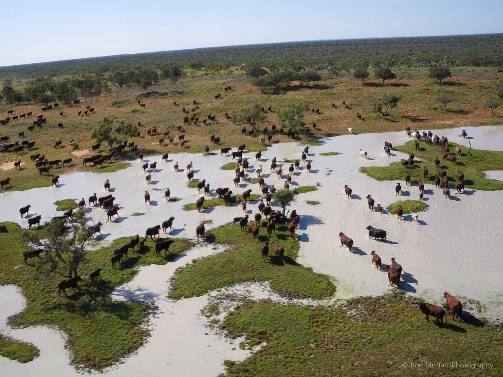 beef-central-kidman-cattle.jpg