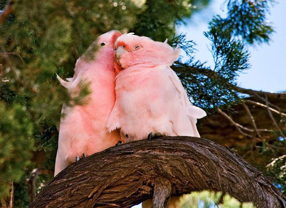 Pair of Major Mitchell Cockatoo roosting in Cypress Pine - Rod ...
